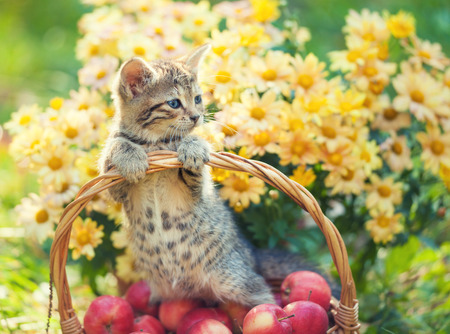 Little kitten in a basket with red apples