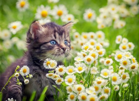 little colours: Portrait of cute little kitten outdoors in flowers