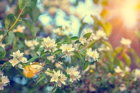 jasmine bush: Vintage jasmine bush at sunset. Selective focus Stock Photo