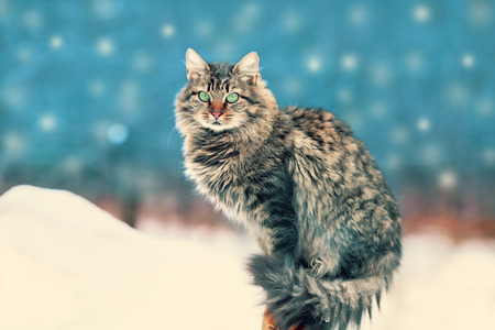 new year cat: Siberian cat siting outdoors in winter at snowfall Stock Photo
