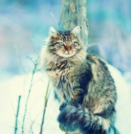 Localización de gato siberiano al aire libre en invierno cubierto de nieve