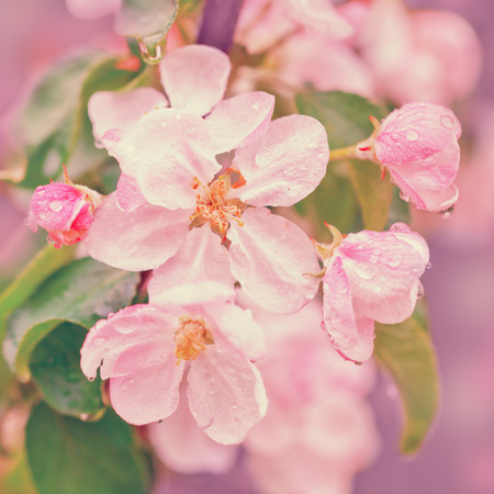 blossoming: Vintage blossoming apple tree