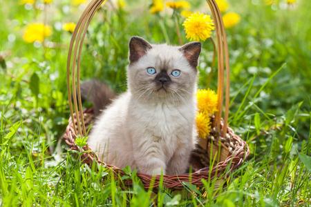 kitten: little kitten in the dandelion flowers in sunny day Stock Photo