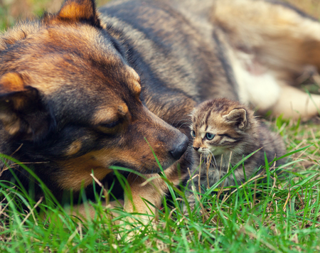 defenseless: Big dog take care of little kitten on the grass