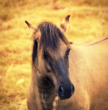 light brown horse: Portrait of wilde horse at sunset