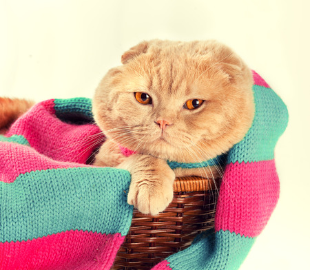 pink pussy: Cat wearing knitted scarf sitting in a basket Stock Photo