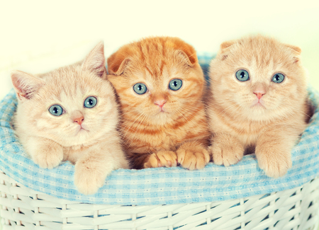 kitten small white: Three little kittens in the basket Stock Photo