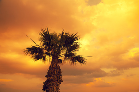 cyprus tree: silhouette of palm tree at sunset