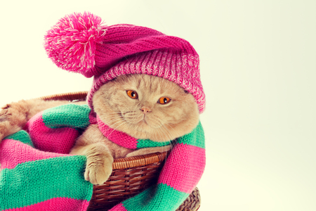 christmas pussy: Cat wearing a pink knitting hat with pompom and a scarf