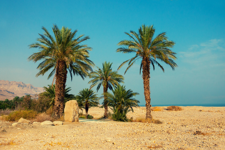 ein: Palm trees in desert, Ein Gedi, Israel
