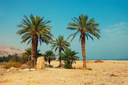 dactylifera: Palm trees in desert, Ein Gedi, Israel
