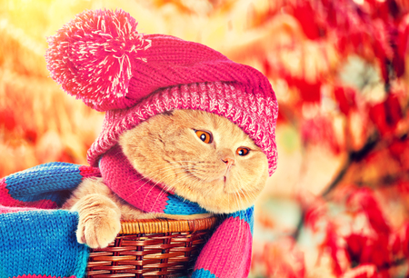 basket: Portrait of cat wearing knitting hat with pompom and scarf in the garden in autumn Stock Photo