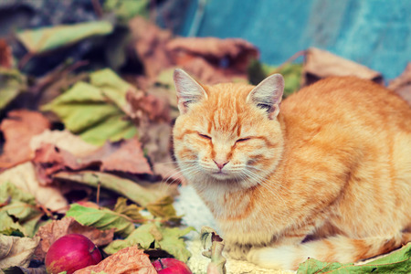 warm things: Cute cat lying in the autumn park on the colorful fallen leaves Stock Photo