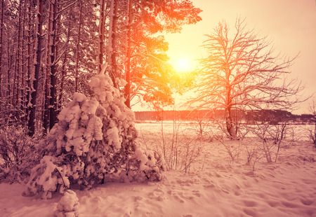 sunny: Winter forest at sunset