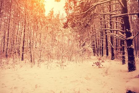 animales del bosque: Alba Rosa en el bosque de invierno