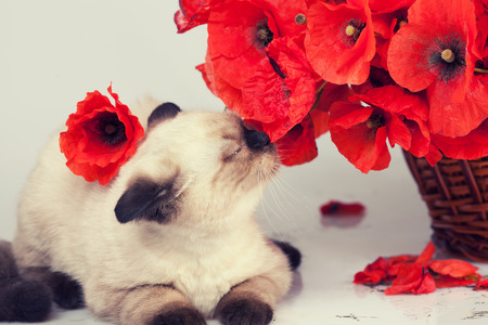 sniffing: Cute kitten sniffing poppies