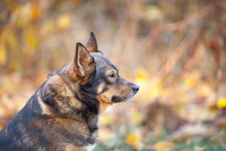 face guard: Portrait of dog outdoors in autumn
