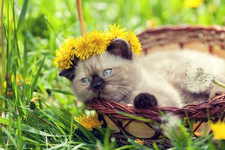 chaplet: little kitten crowned chaplet from dandelion flowers in a basket