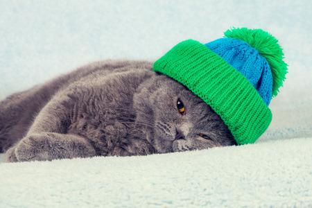 the weather: Azul gatito brit�nico corto con sombrero de tejidos acostado en una manta Foto de archivo