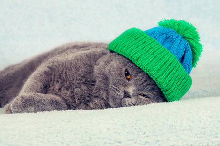 british weather: Blue British Shorthair kitten in knitted hat lying on a blanket Stock Photo