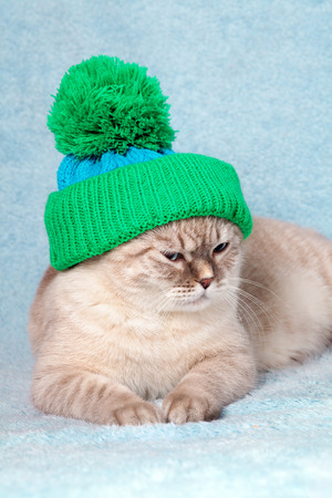 christmas pussy: Cat wearing a knitted cap lies on blue blanket