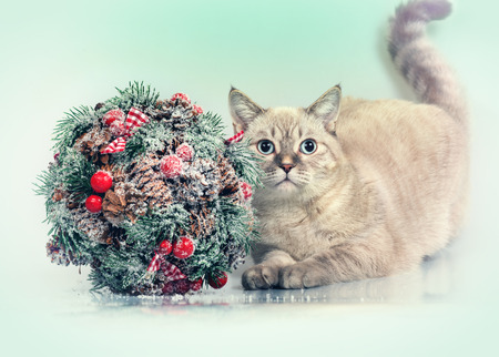 pussy cat: Cat with Cristmas decoration Kissing Bough