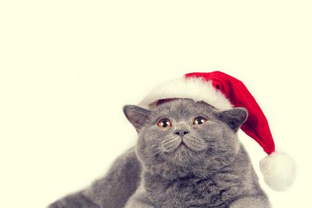 christmas pussy: Blue british kitten wearing Santa hat isolated on white background