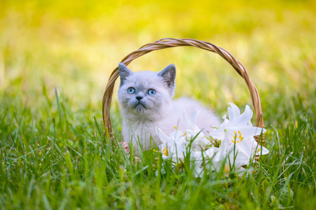 cute bi: Cute little kitten sitting in a basket with lily flowers on the grass Stock Photo