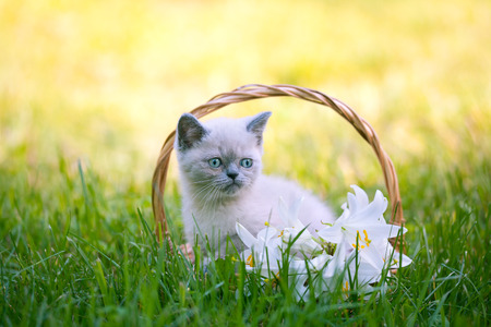 Cute little kitten sitting in a basket with lily flowers on the grass Stock Photo