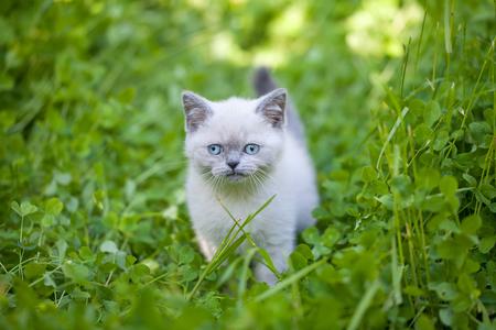 cute bi: Little kitten walking in clover