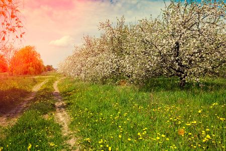 jardines con flores: Rural landscape, blooming orchard at sunset light Foto de archivo
