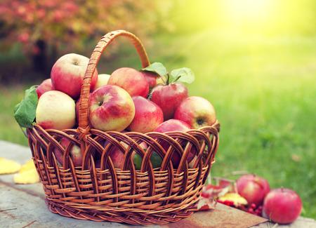 dia soleado: Cesta con manzanas en la hierba en el huerto Foto de archivo