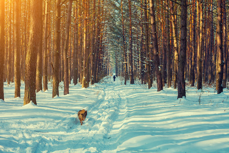 Snowy winter pine forest, skier and running dog