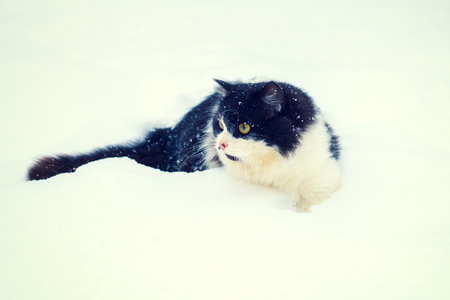 christmas pussy: Black and white cat walking in the snow Stock Photo