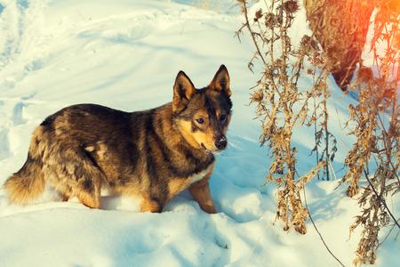 snowy field: Dog walking in the snowy field