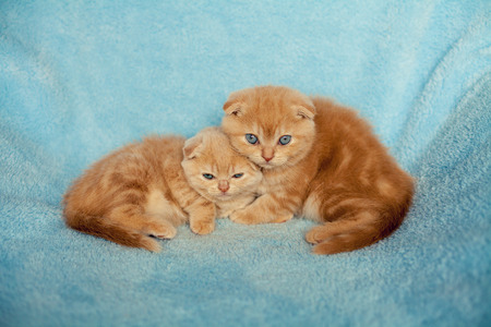 Two little kitten on blue blanket, looking at camera