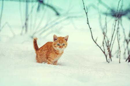 sneak: Little red kitten walking in snow Stock Photo