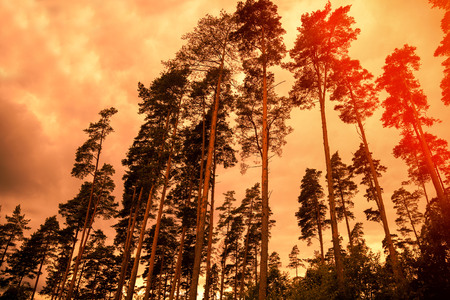 pine forest: Tall pine trees at sunset cloudy sky
