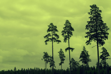 tall trees: Tall pine trees at sunset cloudy sky