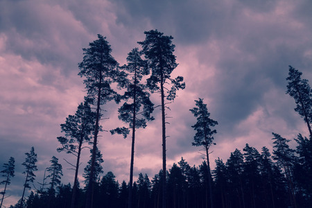cloudy sky: Dramatic sunset. Tall pine trees at sunset cloudy sky Stock Photo