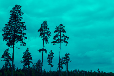 pine trees: Tall pine trees at sunset cloudy sky