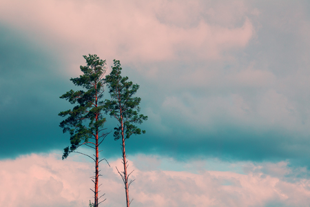 tall: Tall pine trees against the cloudy sky