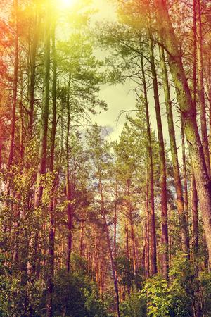 naranja arbol: Bosque de pinos con �rboles