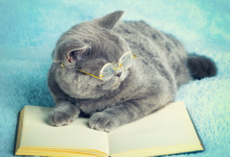 A blue british cat is wearing glasses lying on the book Stock Photo