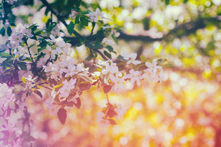 blossoming: Vintage blossoming orchard