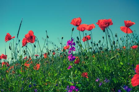 空を背景にケシの花