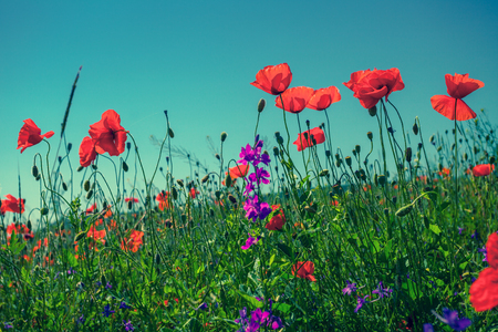 Poppy flowers against the sky