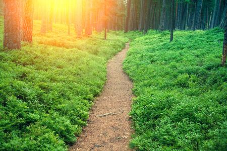 松の森のブルーベリーの茂みの中でパス