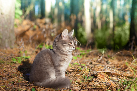 siberian pine: Siberian cat siting in the pine forest
