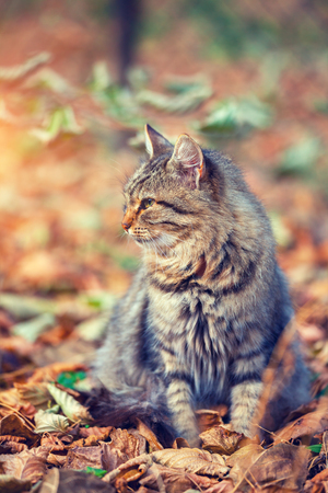 black carpet: Vintage portrait of siberian cat sitting on the fallen leaves in autumn Stock Photo